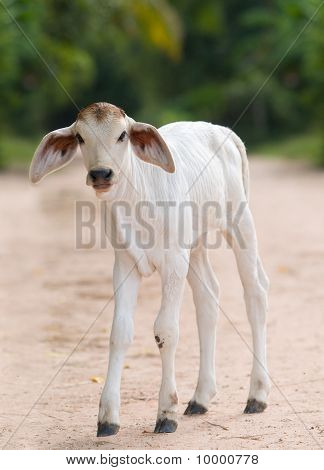 Cute, Young Calf With Big Ears