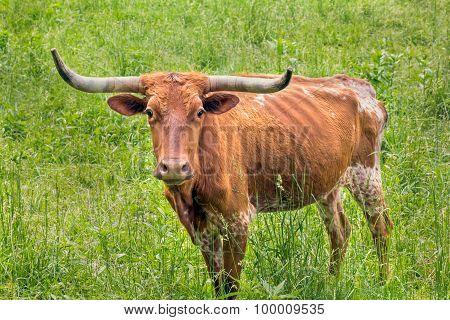 Brown Longhorn Cow