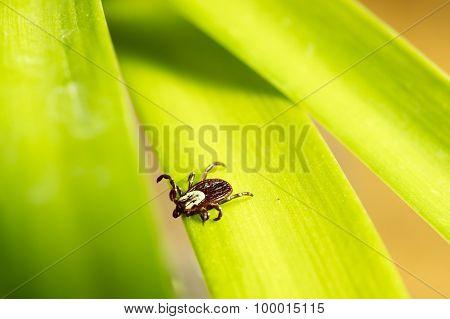Dog Tick On Leaf