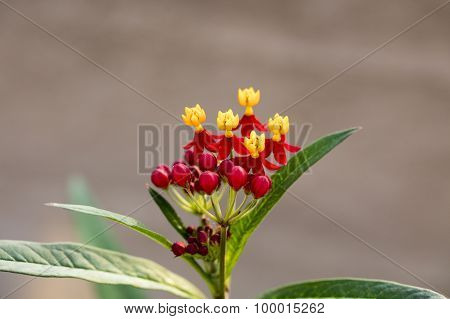 Colorful Butterfly Weed