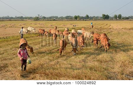 Asian Farmer With Her Cows On Rice Plantation