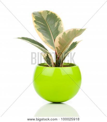 Ficus Elastica Plant, On A White Background
