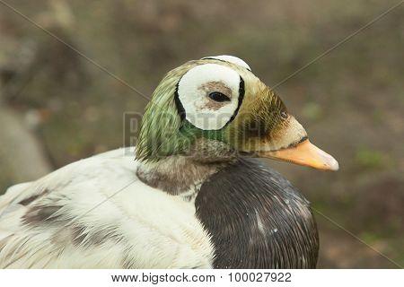 spectacled eider duck