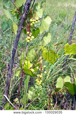 Green grapes ripen on branch of the vine on hot summer day