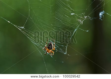 Cross Tee Spider In Its Network.