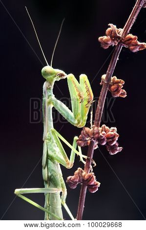 green praying mantis in black blackground