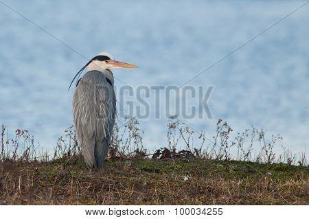 Grea Heron