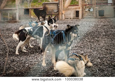 Sledding Dogs In The Kennel