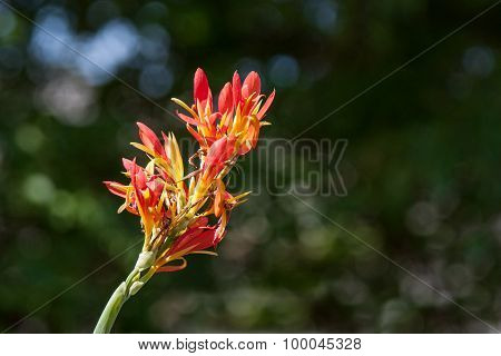 Red and Yellow Hummingbird Canna