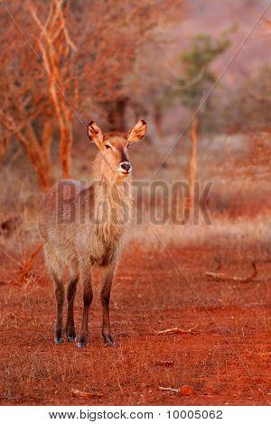 Female Waterbuck (Kobus ellipsiprymnus)