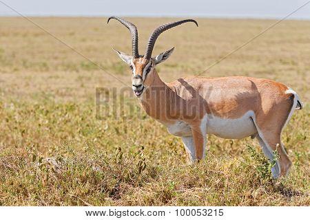 Impala Antelope In Africa