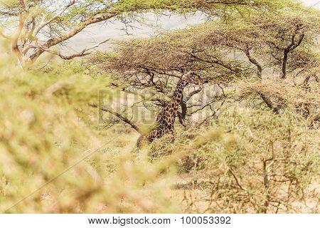 Giraffe In Serengeti National Park