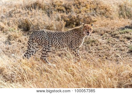 Cheetah In Serengeti