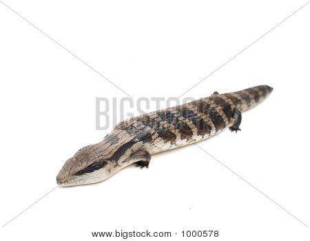 Blue Tongue Lizard #7