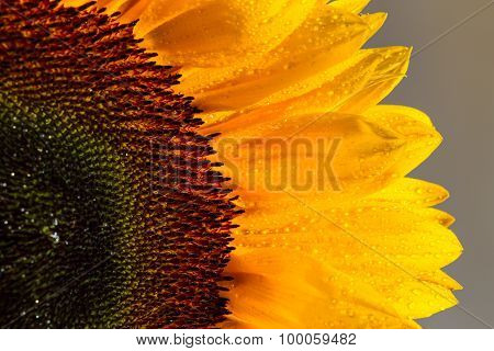Sunflower and it is petals close up
