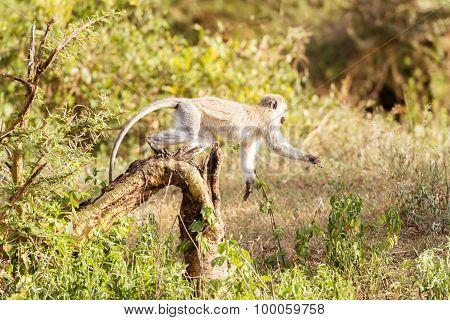 Chlorocebus Pygerythrus, Vervet Monkey In Serengeti National Park, Tanzania