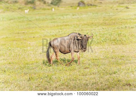 Blue Wildebeest In Tanzania