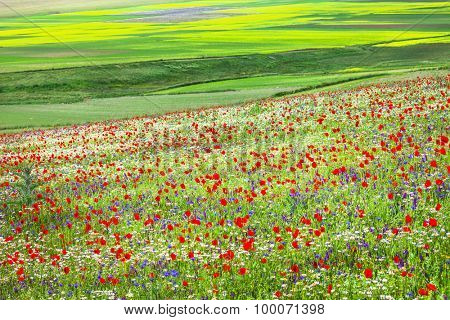 blooming fields in Castelluccio di Norcia -famous plateau in mon