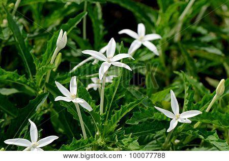 Star Of Bethlehem, Hippobroma Longiflora (l.) G.don. Thai Traditional Herbal Medicine.