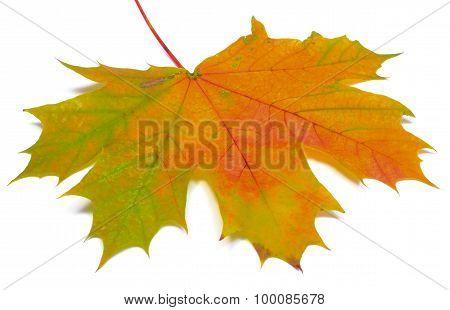 Autumnal Maple Leaf On White Background