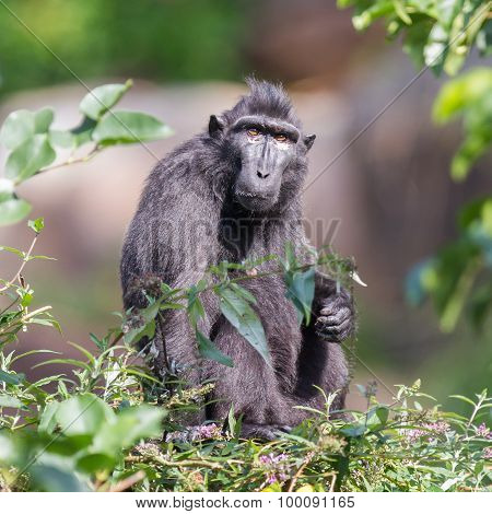 Adult Celebes Crested Macaque