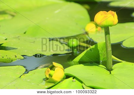 Yellow Flower Of Nuphar Lutea