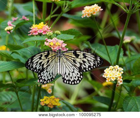 Idea leuconoe- paper kite butterfly