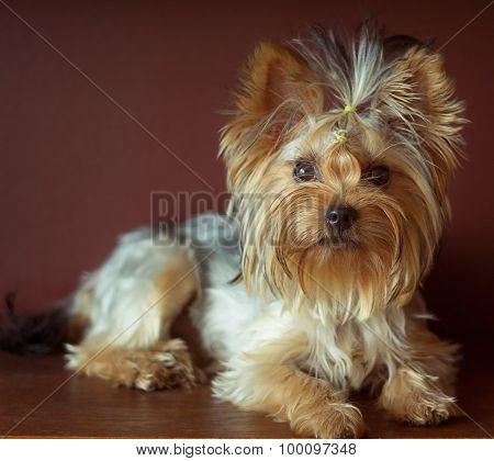 Yorkshire Terrier With Braided Ponytail On Head Lying. Square Crop