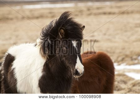 Portrait Of A Black And White Icelandic Horse