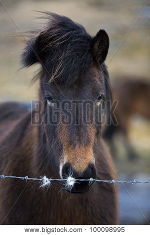 Portrait Of An Icelandic Horse On A Meadow