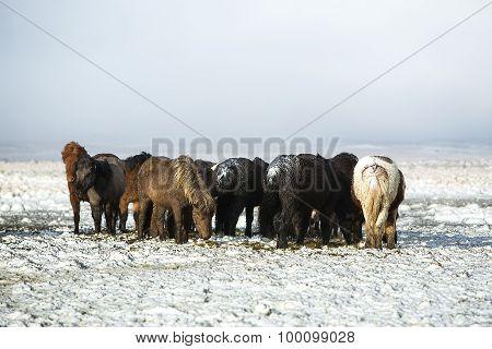 Herd Of Icelandic Horses After Snow Storm
