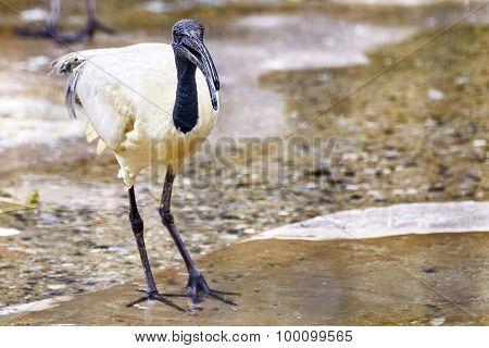 Black - White Ibis.