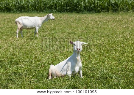 Goat On The Field