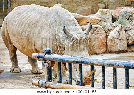 Rhino / Rhinoceros Grazing On Nature.
