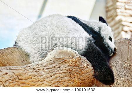 Sleeping Panda In Its Natural Habitat.