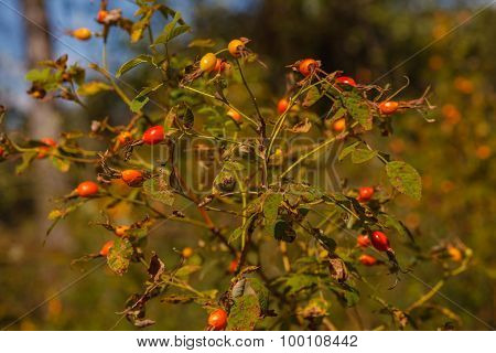 wild dog rose closeup dry landscape nature summer