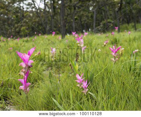 Siam Tulip Flower 2