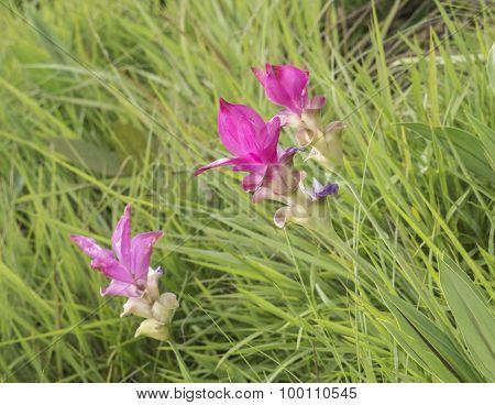 Siam Tulip Flower 9