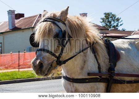 Shetland Pony Wearing A Harness