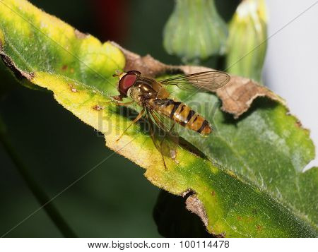 Insect Diptera Halteres