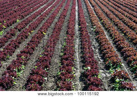 Fresh Lettuce On Field