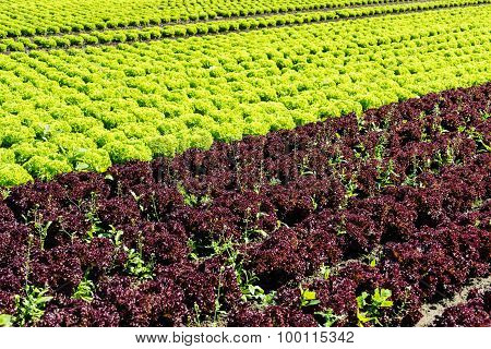 Fresh Lettuce On Field