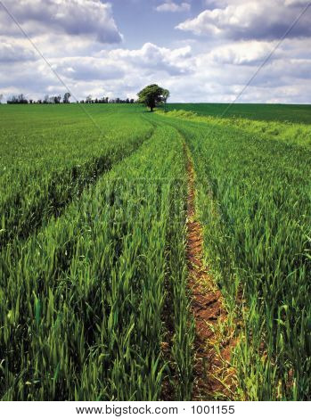 England Bedfordshire Field Of Spring Green Wheat
