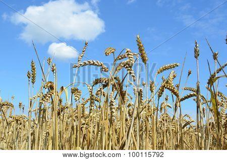 rye field in the sun