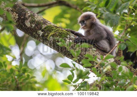 A Young Dusky Leaf Monkey