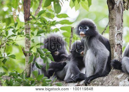 Dusky Langur Family And Baby