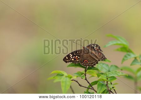 Lemon Pansy Butterfly On Nature Background