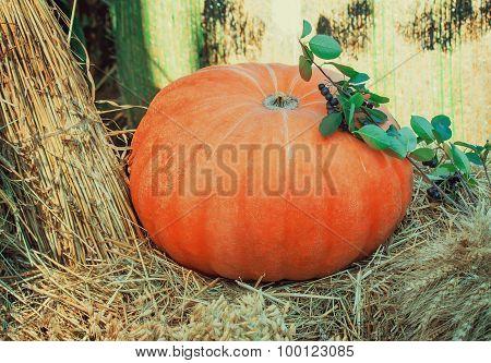 Big Ripe Bright Orange Pumpkin, And Corn Grain Cereals.