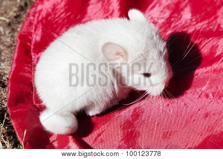 A Little White Baby Chinchilla