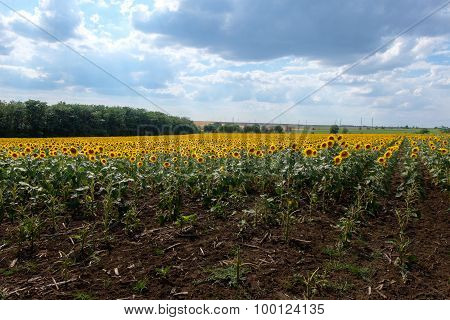 Field Of Blooming Sunflowers Against A Blue Sky